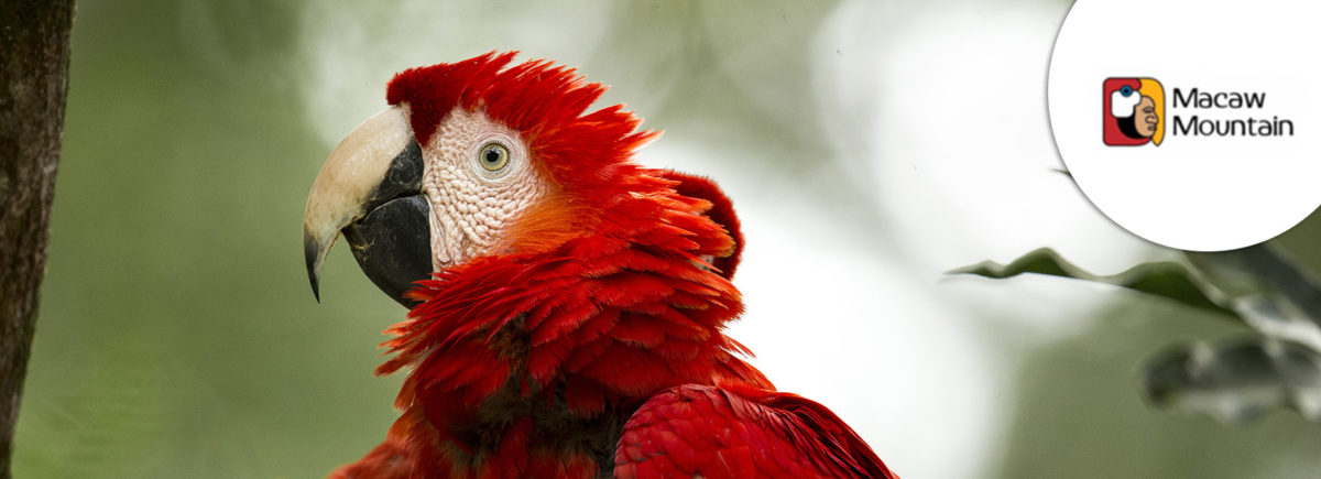 The Explorers supports the Macaw Mountain and Bird Park Reserve in the protection of scarlet macaws in Honduras