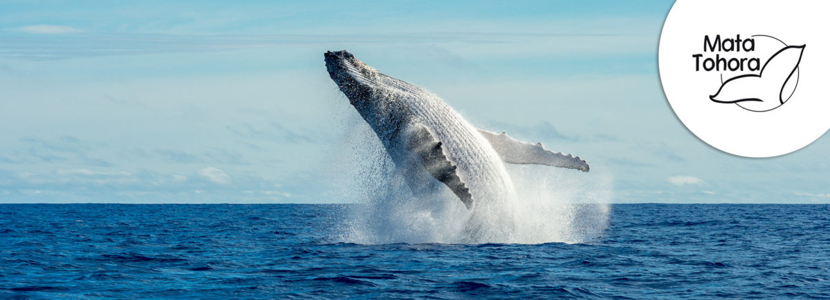 The Explorers supports Mata Tohora in the protection of humpback whales in French Polynesia
