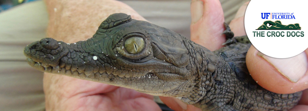 American crocodile project - UF Croc Docs - The Explorers Organisation